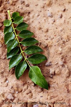 Curry leaves by Smita @ Little Food Junction, via Flickr