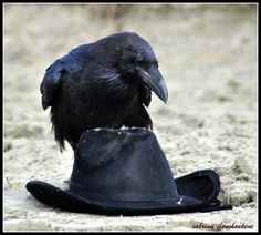 Raven on hat.