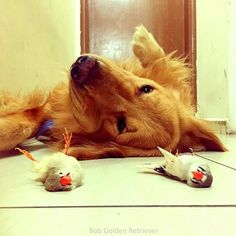 Based in Brazil, along with his human owner and at least eight pet birds, 'Bob' is a golden retriever and his best friends–a chubby hamster and eight birds. Amazing Animals, Unusual Animals, Animals Beautiful, Animals And Pets, Baby Animals, Funny Animals, Cute Animals, Hamsters As Pets, Cute Hamsters