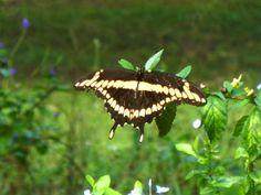 """""""Enjoying The Sunshine"""" - Giant Swallowtail Butterfly"""" - Steve Hoffacker - http://stevehoffacker.com"""