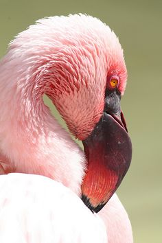 sdzoo:    Lesser Flamingo by Sarah B in SD on Flickr.