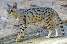 WHAT IS A SAVANNAH CAT? The Savannah cat is an elegant and dramatically wild looking domestic cat breed, developed by crossing a domestic cat (Felis Silvestris Catus aka Felis Domesticus) and an African Serval (Felis Leptailurus Serval). The resulting hybrid domestic cat, and the consecutive...