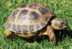 I have seen numerous suggestions for Russian tortoise diet Some great Some awful. Russian Tortoises are nibblers and appreciate broad leaf plants. Tortoise Table, Baby Tortoise, Sulcata Tortoise, Giant Tortoise, Russian Tortoise Care, Kawaii Turtle, Red Footed Tortoise, Pet Turtle, Cute Turtles