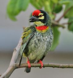 Coppersmith Barbet - They are mainly fruit eating but will take sometimes insects, especially winged termites.