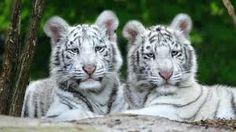 Risultati immagini per tigre della bengala