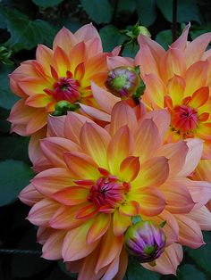 'Firepot' Dahlias (second favorite yard flower!)