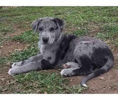 irish wolfhound dalmatian mix - Google Search @roslyn