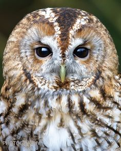 Source: Flickr / withey #tawny owl