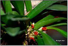 Resultado de imagen para orquideas pleurothallis