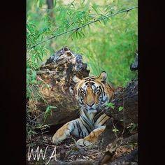 The Bengal Tiger •••••••••••••••••••••••••••••••••••••••••• Photo by: @thomasvijayan #Tiger