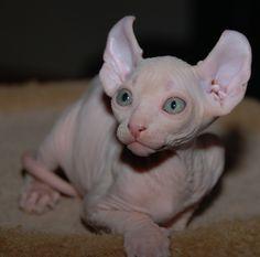 Dobby the House-Elf Cat Elf Cat ~ American Curl + Sphynx, full sized not a Munchkin Munchkin Cat Price, Gato Munchkin, Gato Sphinx, Curl Americano, Canadian Cat, Hairless Kitten, Elf Cat, American Curl, Animals