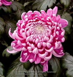 Hagoromo Chrysanthemum by Patty Hankins,Fine Art Floral Photographer.BeautifulFlowerPictures.com
