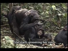 Evidence That Chimpanzee Moms Can Be Sneaky, Too : 13.7: Cosmos And Culture : NPR {watch her laugh after she pulls her trick}