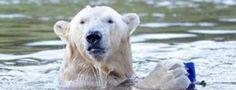 """Brum brum brum, o čem se zdá mědvědům... """"Brum, brum, brum. O čem se zdá medvědům? Hlavu, zadek, nohu schovej do brlohu. Brum, brum, brum. Brum, brum, brum. Zazpíváme medvědům Dobrou noc, vy šelmy, nechrápejte velmi nebo si zboříte dům."""" Lední medvěd je veliký polární medvěd s krásným bílým huňatým kožichem. Pro Inuity je lední medvěd posvátným zvířetem. V ..."""