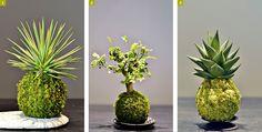 Tout droit arrivées du Japon, ces jolies sphères couvertes de mousse permettent de cultiver toutes sortes de plantes. Notre sélection.