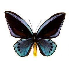 Ornithoptera Urvillianus