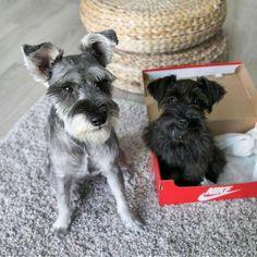 Yes, this is my sidekick...The box? Uhh....what box? #miniatureschnauzerpuppy