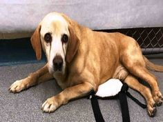 PLEASE HELP HIM!!SUPER URGENT Manhattan center BRUCE – A1092108  MALE, TAN / CREAM, LABRADOR RETR MIX, 10 yrs STRAY – STRAY WAIT, NO HOLD Reason STRAY Intake condition GERIATRIC Intake Date 10/02/2016, From NY 11433, DueOut Date10/05/2016