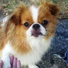 Autumn is an adoptable Japanese Chin Dog in Council Bluffs, IA. Autumn was surrender to us by her breeder. Shee is around 2-3 years old and around 12 lbs. She is a silly and fun little girl. She recen...