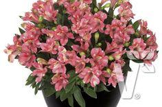 402015 Alstroemeria x hybrida Inticancha® Kanika