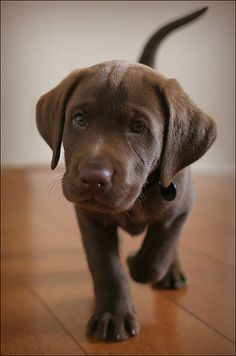 Chocolate Lab Puppy...Santa!!! I want him under my Christmas tree! Puh Lease??? ~SLP