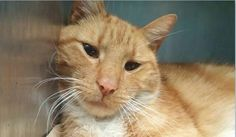 MEGA - A1105164 - - Brooklyn ***TO BE DESTROYED 03/08/17*** MEGA NEEDS YOU TONIGHT! Mega wasn't too sure how he felt about being at the shelter initially, but he has warmed up to people during his short stay here and will approach people and even meow to solicit attention! This handsome guy appears to have a possible neurological disorder and will occasionally hiss and growl at his own tail. This poor kitty is sweet as pie with people, but may need further examinations t