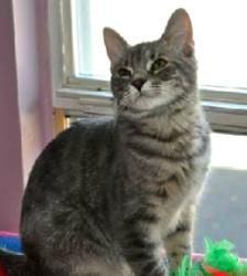 PB is an adoptable Bengal Cat in Marlton, NJ. Please contact Lynn ( lynnsanimalrescue@gmail.com ) for more information about this pet. This little gorgeousguy is named PB and is impatiently waiting ...