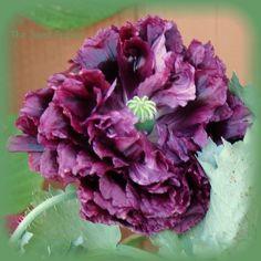 Papaver Somniferum  Black Peony  / Schlafmohn (frisch & keimfähig) - (500 Samen)