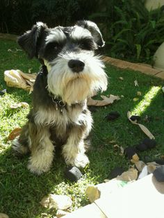 Benni the Schnauzer eating charcoal...he never did produce any diamonds