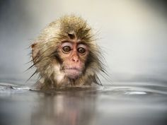 Japanese macaque © Jasper Doest Photography