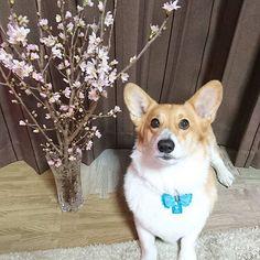 【ayako_0426】さんのInstagramをピンしています。 《2017,1,22 🐶「僕、4歳になりました✨」 旦那がもらってきた桜🌸と記念撮影✨ * #birthday#お誕生日#4歳#桜 #コーギー#corgi》