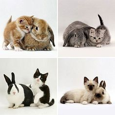 Four kittens with their rabbit counterparts