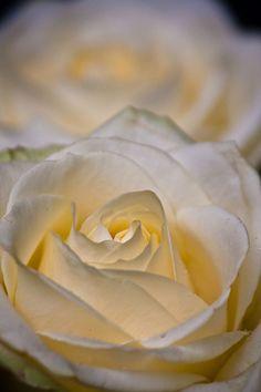 Roses Like Meringue