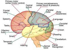 cerebellum anatomy - Google Search | Anatomy, brain... | Pinterest ...