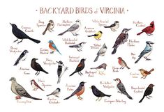 This watercolor painting features 25 Backyard Birds of Virginia as a field guide chart. It features the following birds:   American Crow  American