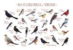 Virginia Backyard Birds Field Guide Art Print / by KateDolamore