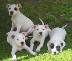 White english staffy pups. Staffordshire Bull Terrier puppies at www.pups4sale.com.au.
