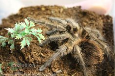 A curly haired tarantula, one of many spiders in stock at our reptile shop, Evolution Reptiles, Oxford.