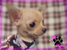 teacup chihuahua puppies information | Available Teacup Chihuahua Puppies