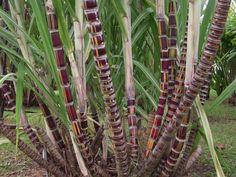 Caña de azúcar (Saccharum officinarum) en jardines
