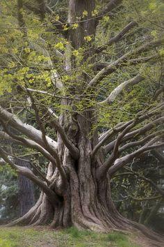 Verrückt Der bekannte riesengroße Berg-Mammut-Baum in Ihrem Garten !