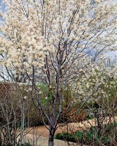 'Cumulus' Alleghany serviceberry is an open upright tree, taller than it is wide, producing showy white flowers in spring, purple edible fruit in midsummer, and dramatic orange-red leaves in fall. Zone 4 - 15 to 40 ft H and W. Full sun to part shade;