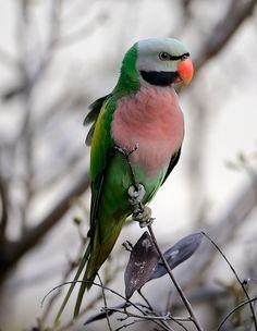 """bird-fix: """"Mustache Parakeet """""""