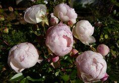 Novemberi rózsák
