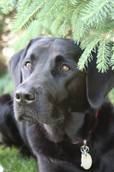 #BlackLabradorRetriever #BlackLab #BeautifulDog #LabradorRetriever