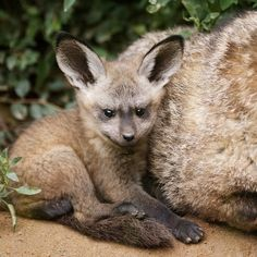Bat-eared Fox quints delight Prague Zoo!