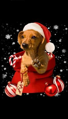 Good Morning Christmas, Merry Christmas Dog, Christmas Dachshund, Dachshund Rescue, Dachshund Art, Christmas Scenes, Christmas Animals, Dog Pictures, Cute Pictures