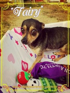 Check out Fairy's profile on AllPaws.com and help her get adopted! Fairy is an adorable Dog that needs a new home. https://www.allpaws.com/adopt-a-dog/chihuahua/5825403?social_ref=pinterest