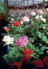 Como Plantar  e cuidar de rosas