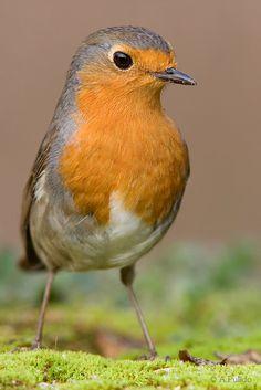 Petirrojo II. European Robin. Erithacus rubecula.  By: Angel Pulido Domínguez